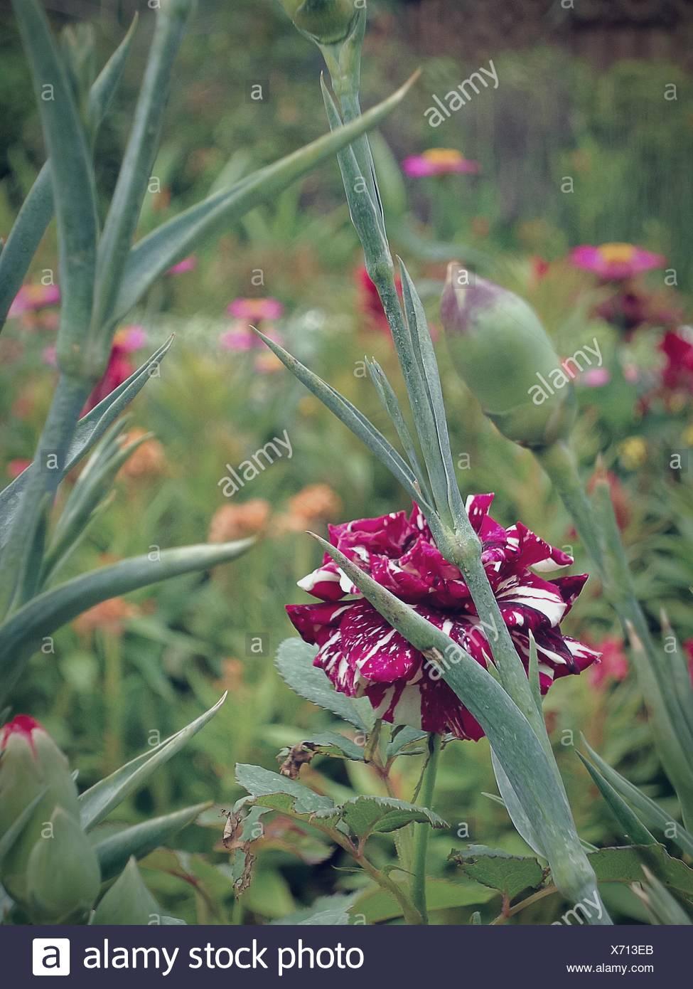 Fresh Magenta Flowers Blooming In Field - Stock Image