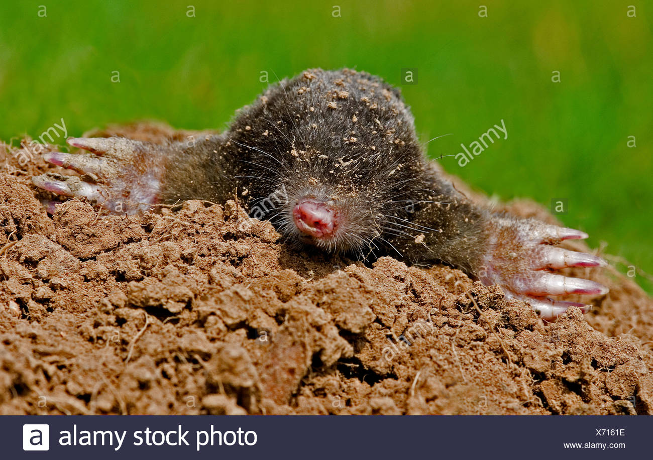 European mole talpa europaea Devon UK - Stock Image