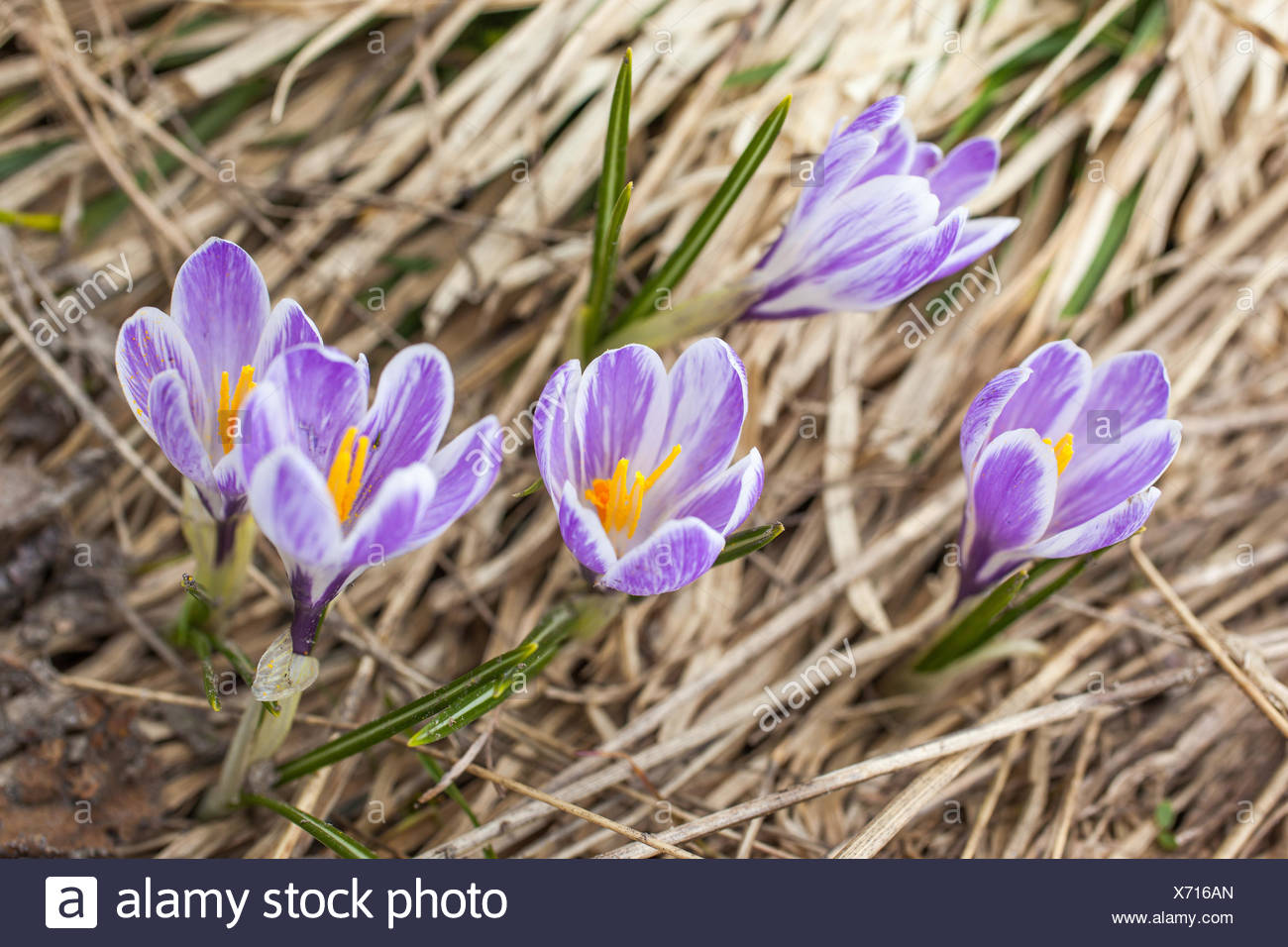 botany, lilac crocus in the Knuttental, Rein in Taufers, Reintal, South Tyrol, Italy, Additional-Rights-Clearance-Info-Not-Available - Stock Image