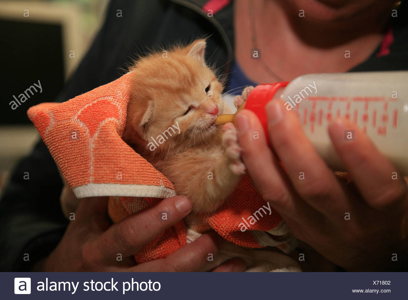 Kitten is being bottle fed - Stock Image