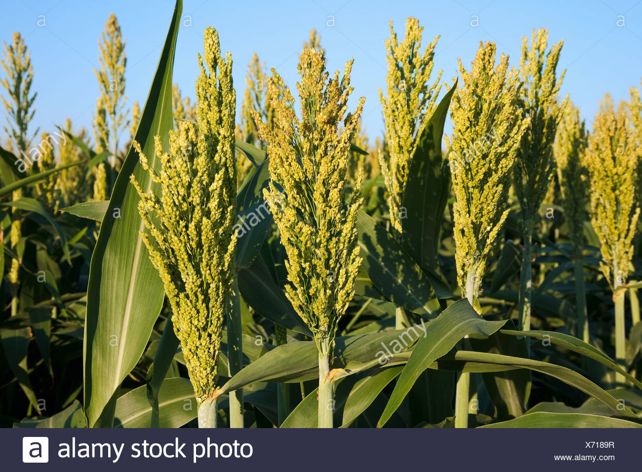 Agriculture - Closeup of grain sorghum (milo) plants with fully formed and maturing heads / Arkansas, USA. - Stock Image