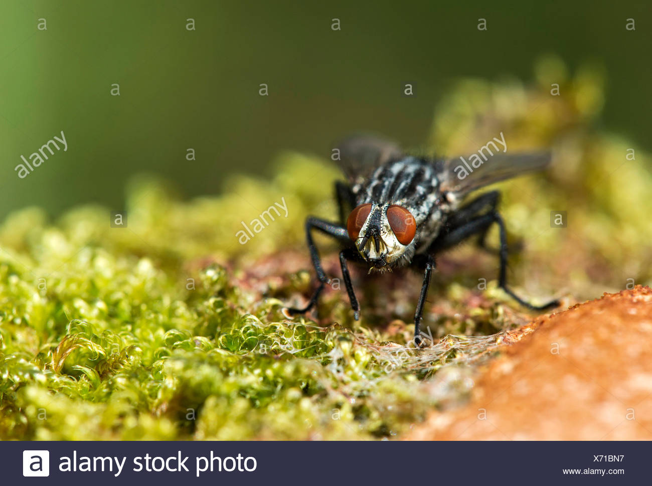 Blowfly (Calliphora vicina) on a slime mold, Switzerland - Stock Image