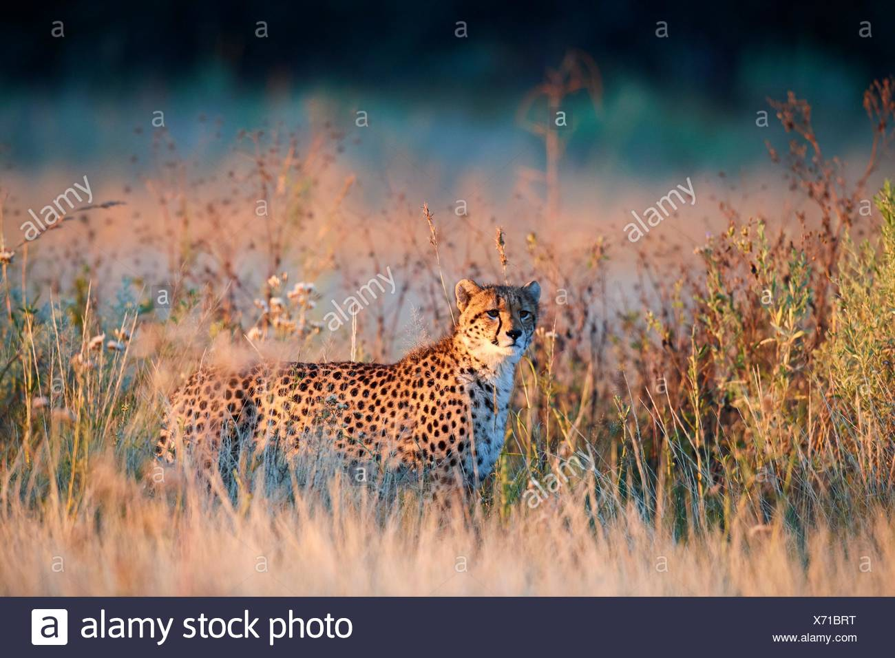 Cheetah male (Acinonyx jubatus) in morning light. Moremi National Park, Okavango delta, Botswana, Southern Africa. Stock Photo