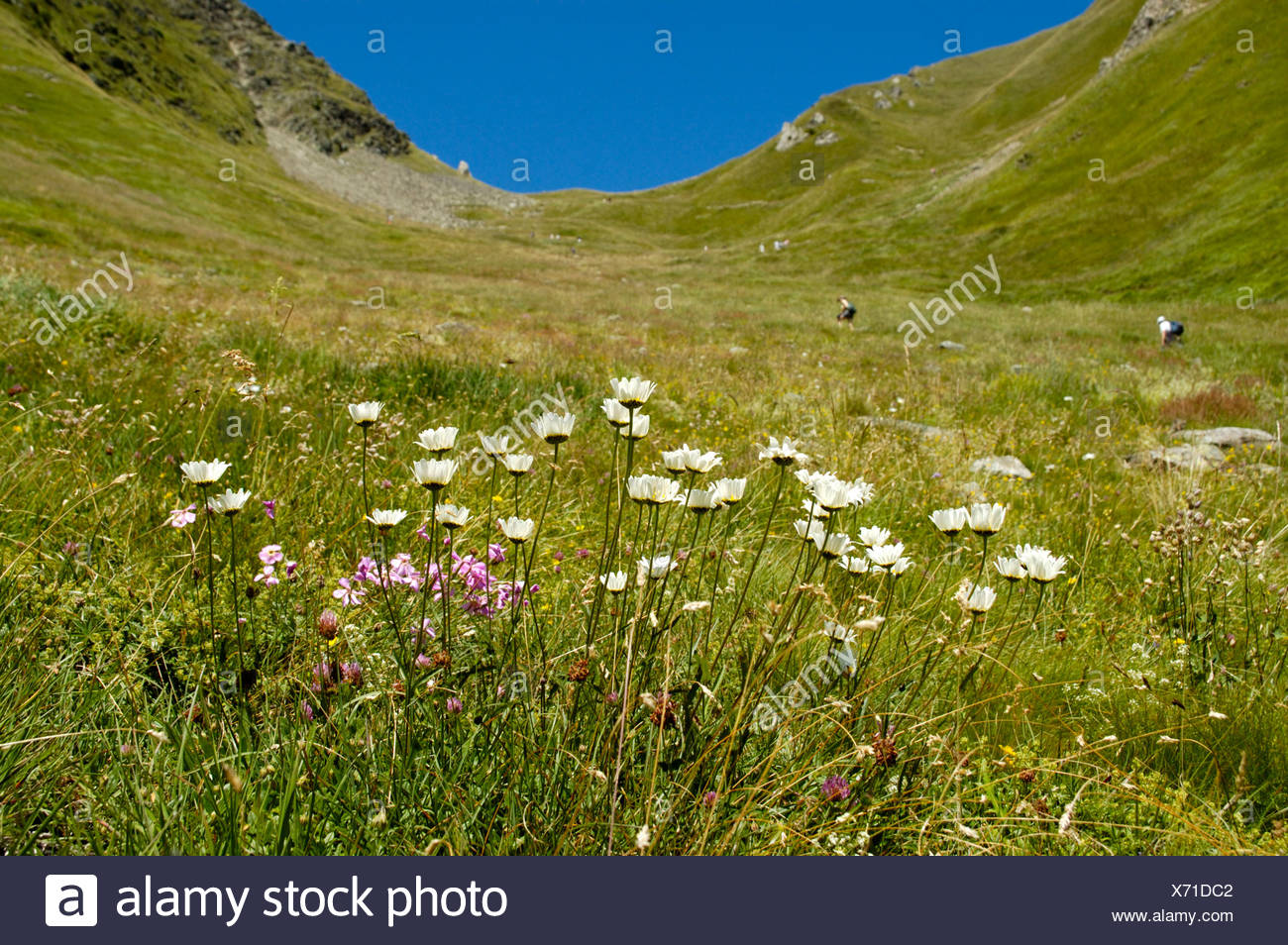 Flower meadow below pass Col de Tricot Haute-Savoie France - Stock Image