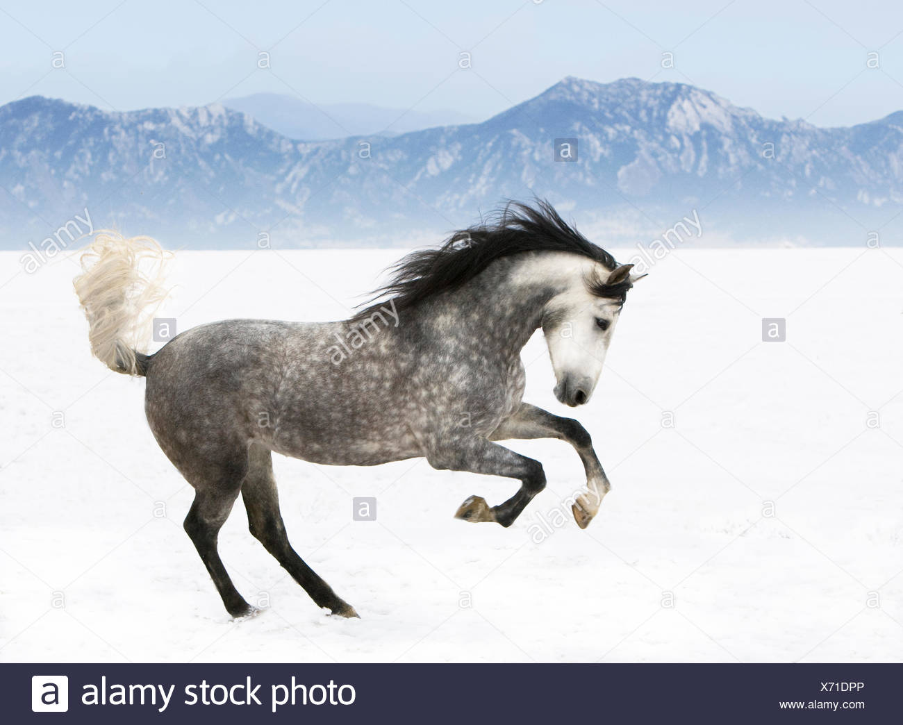 Purebred grey Andalusian mare running in the snow, Longmont, Colorado, USA - Stock Image