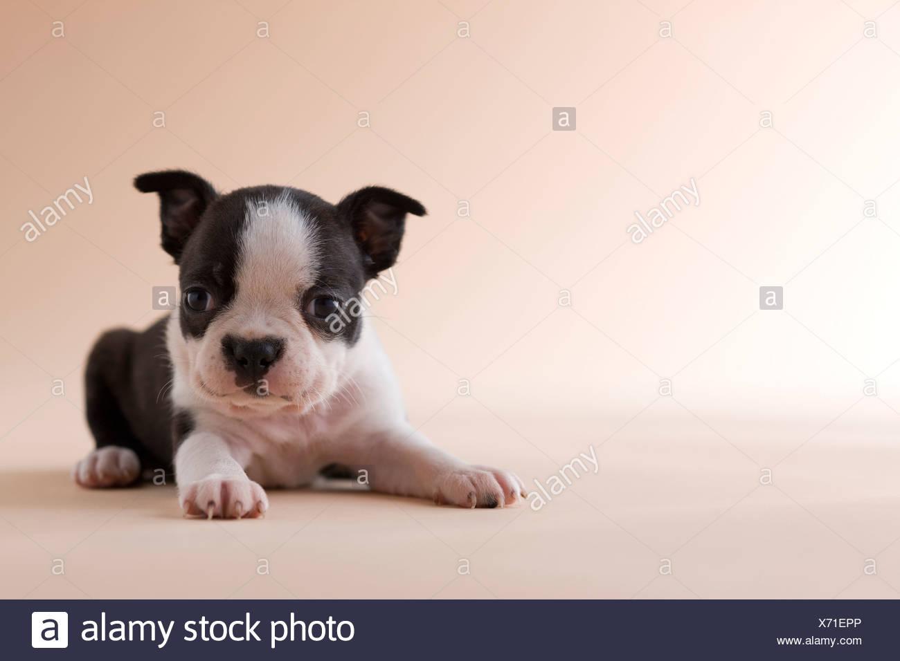 Boston Terrier Puppy - Stock Image