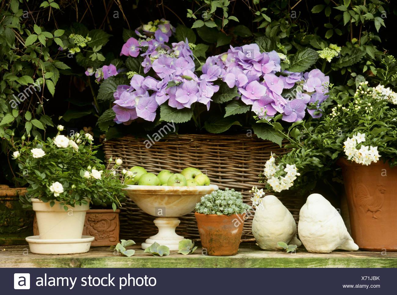 Garden flowers in pots hydrangeas jasmine sedum miniature rose garden flowers in pots hydrangeas jasmine sedum miniature rose altavistaventures Images