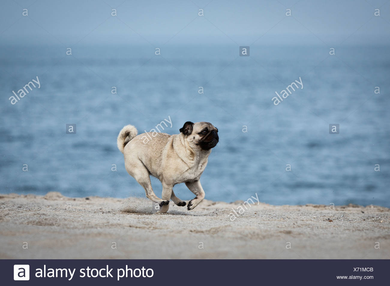 Pug dog running at beach, Sylt, Schleswig-Holstein, Germany, Europe - Stock Image