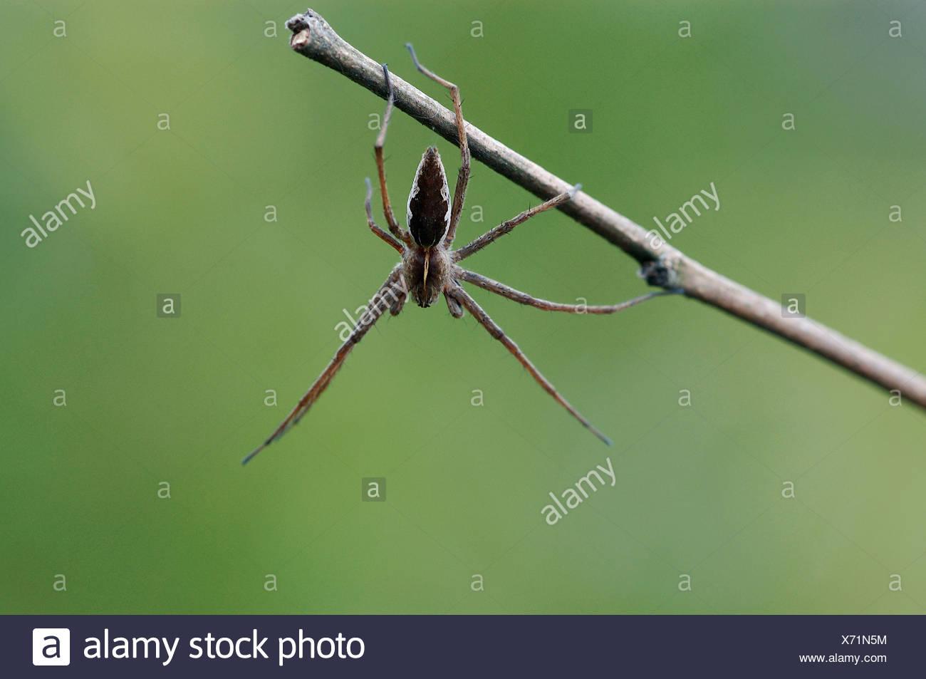 Fantastic Fishing Spider - Stock Image