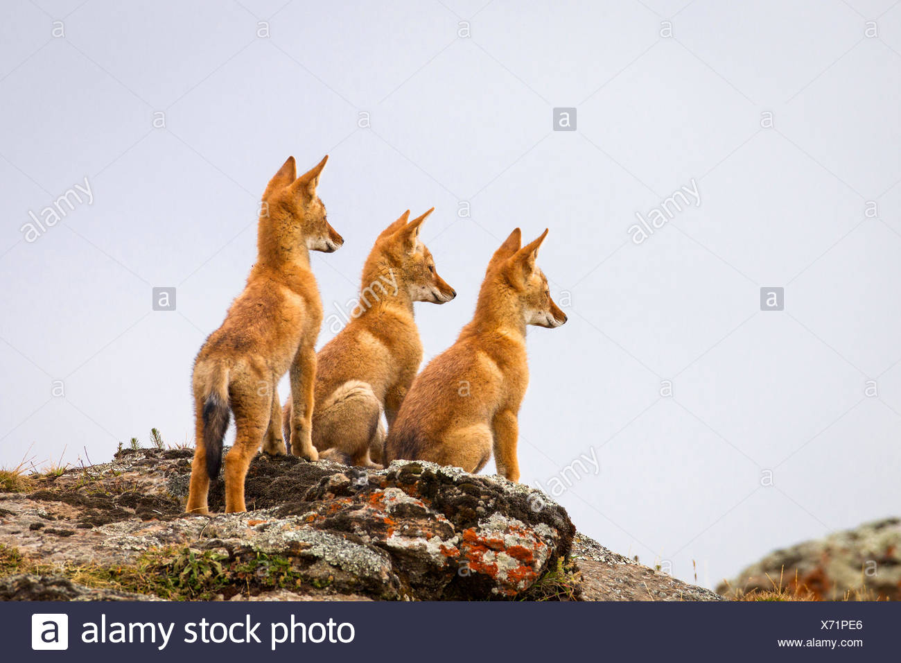 Three Ethiopian wolf (Canis simensis) pups waiting for their parents to return, Ethiopia. - Stock Image