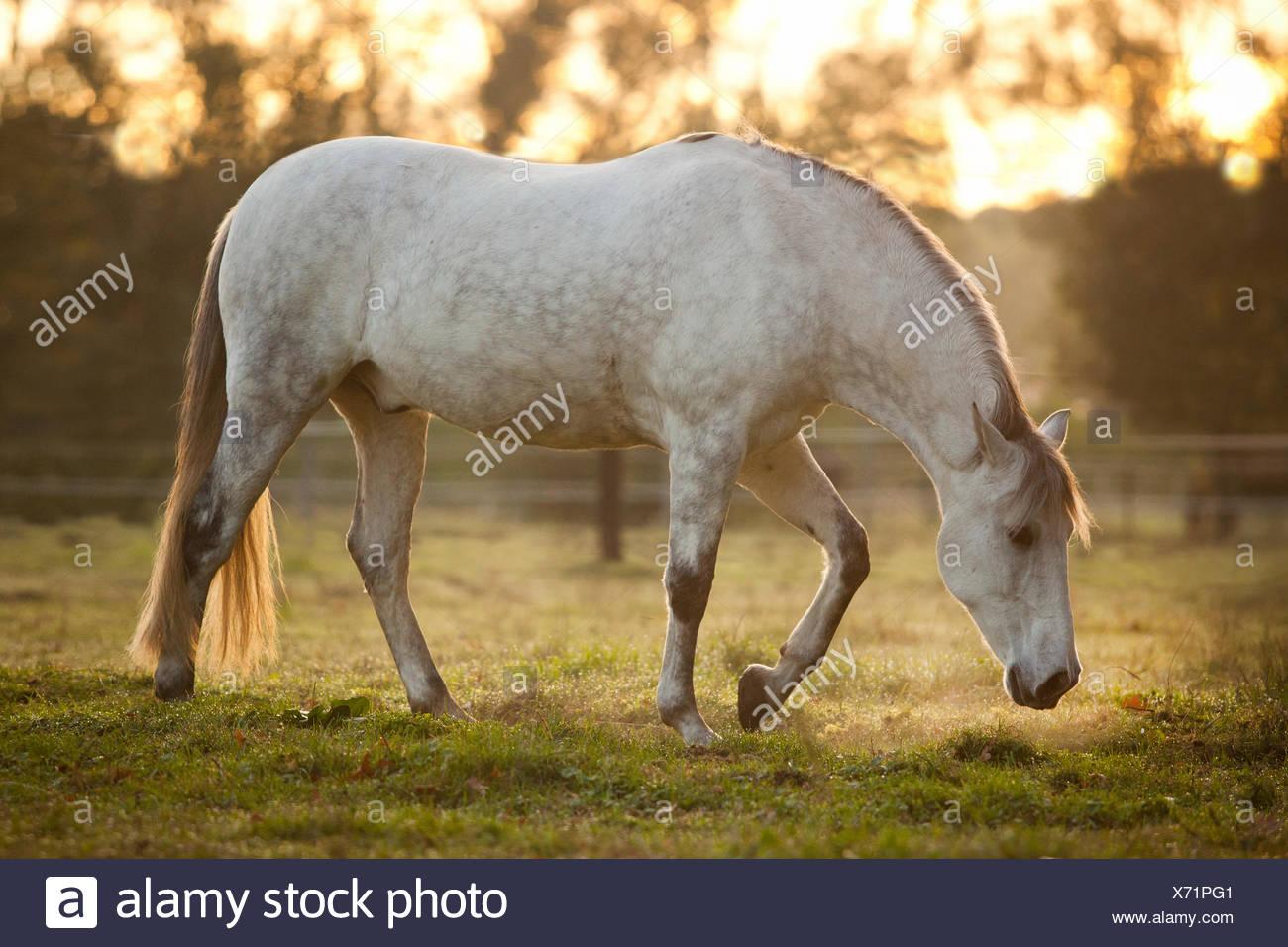 PRE, dapple gray, gelding on meadow in morning light - Stock Image