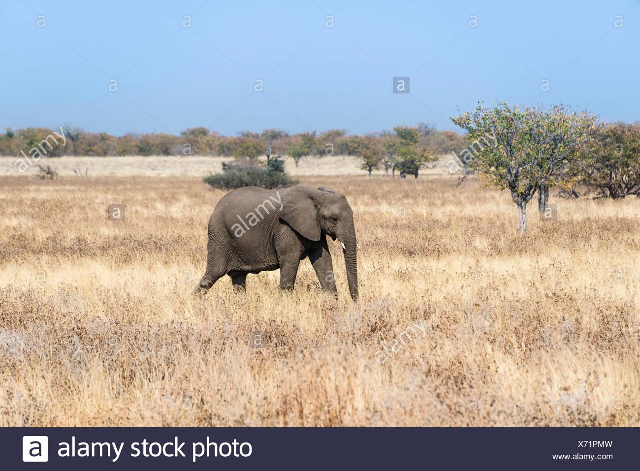 Young African Elephant (Loxodonta africana) moves through dry bushland, Etosha National Park, Namibia - Stock Image