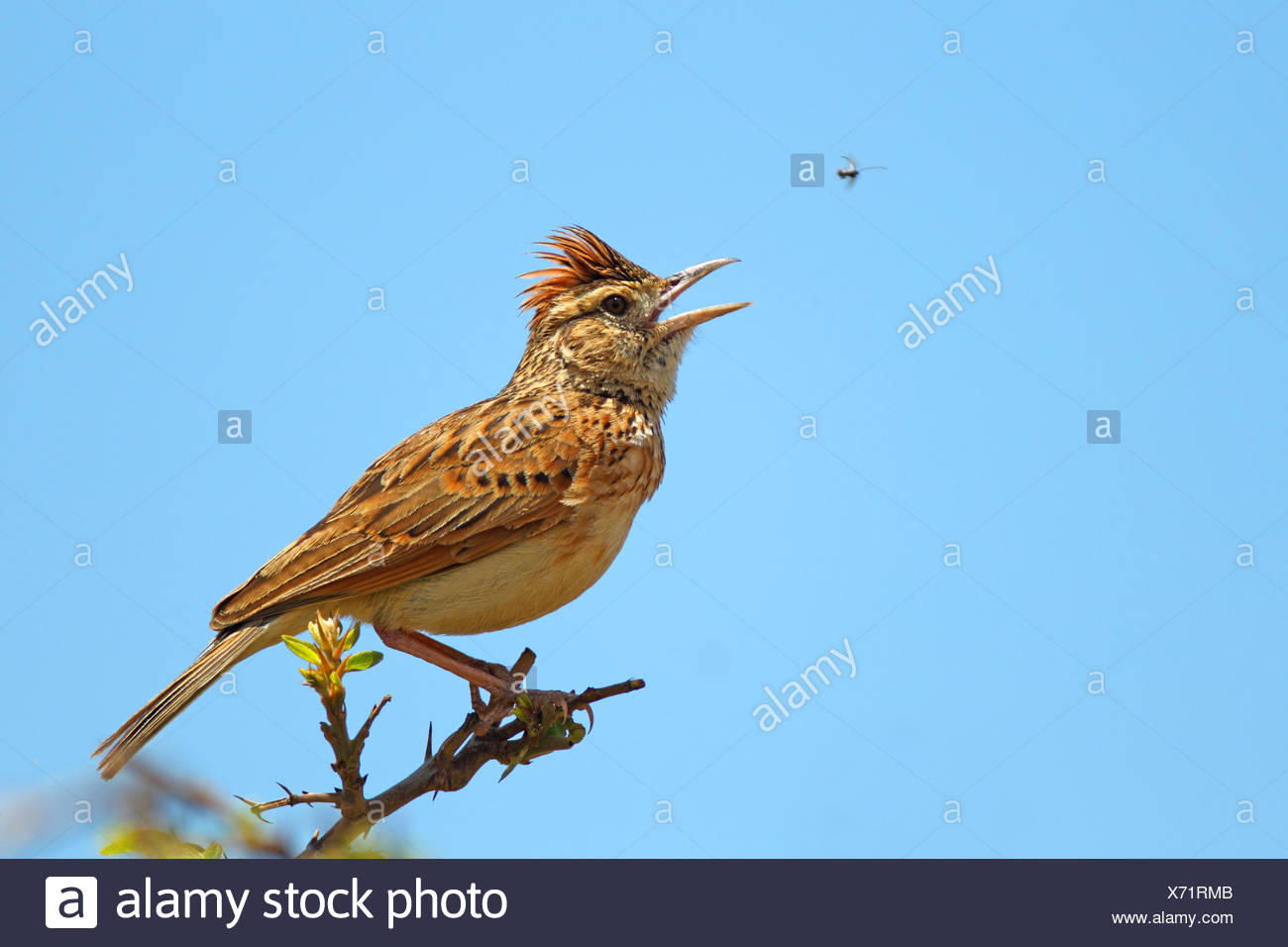 rofous-naped lark (Mirafra africana), male sings on a briar, South Africa, North-West Province - Stock Image
