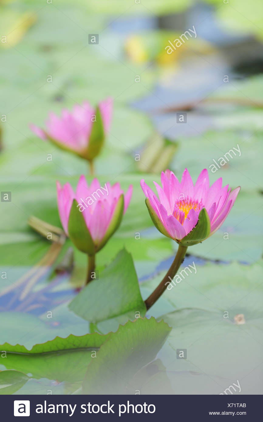 Lotus scenery stock photos lotus scenery stock images page 3 alamy leaf flower plant stock image mightylinksfo