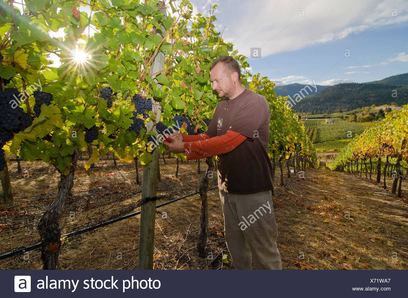 Winemaker cuts grapes in the vineyards at Thornhaven Estates Winery in Summerland in the Thompson Okanagan region British - Stock Image