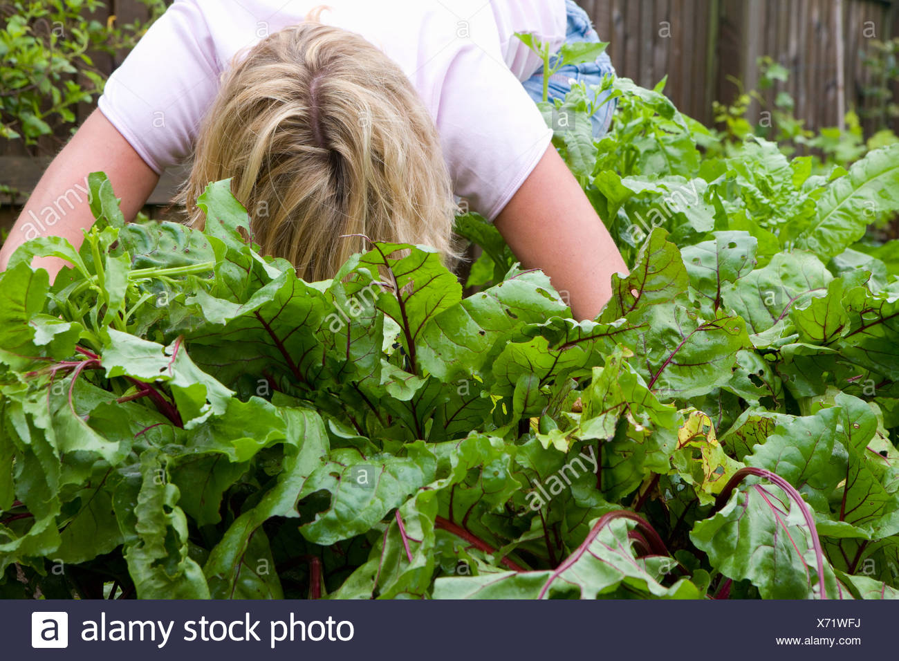 Woman harvesting fresh beetroot from garden - Stock Image