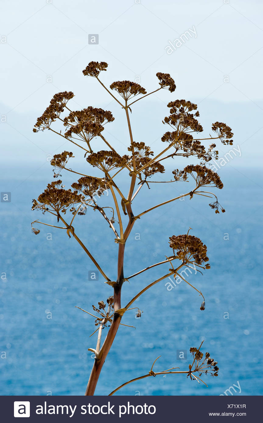 Dried flower tree against the peaceful blue sea - Stock Image
