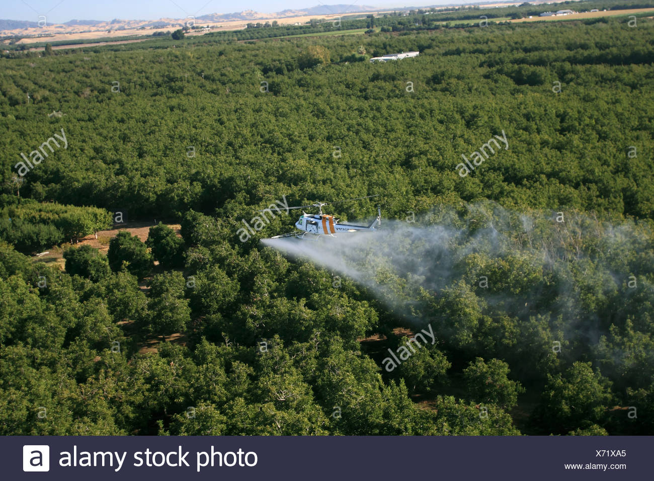 Agriculture - Aerial chemical application by a helicopter over a walnut orchard in late Summer / California, USA. - Stock Image