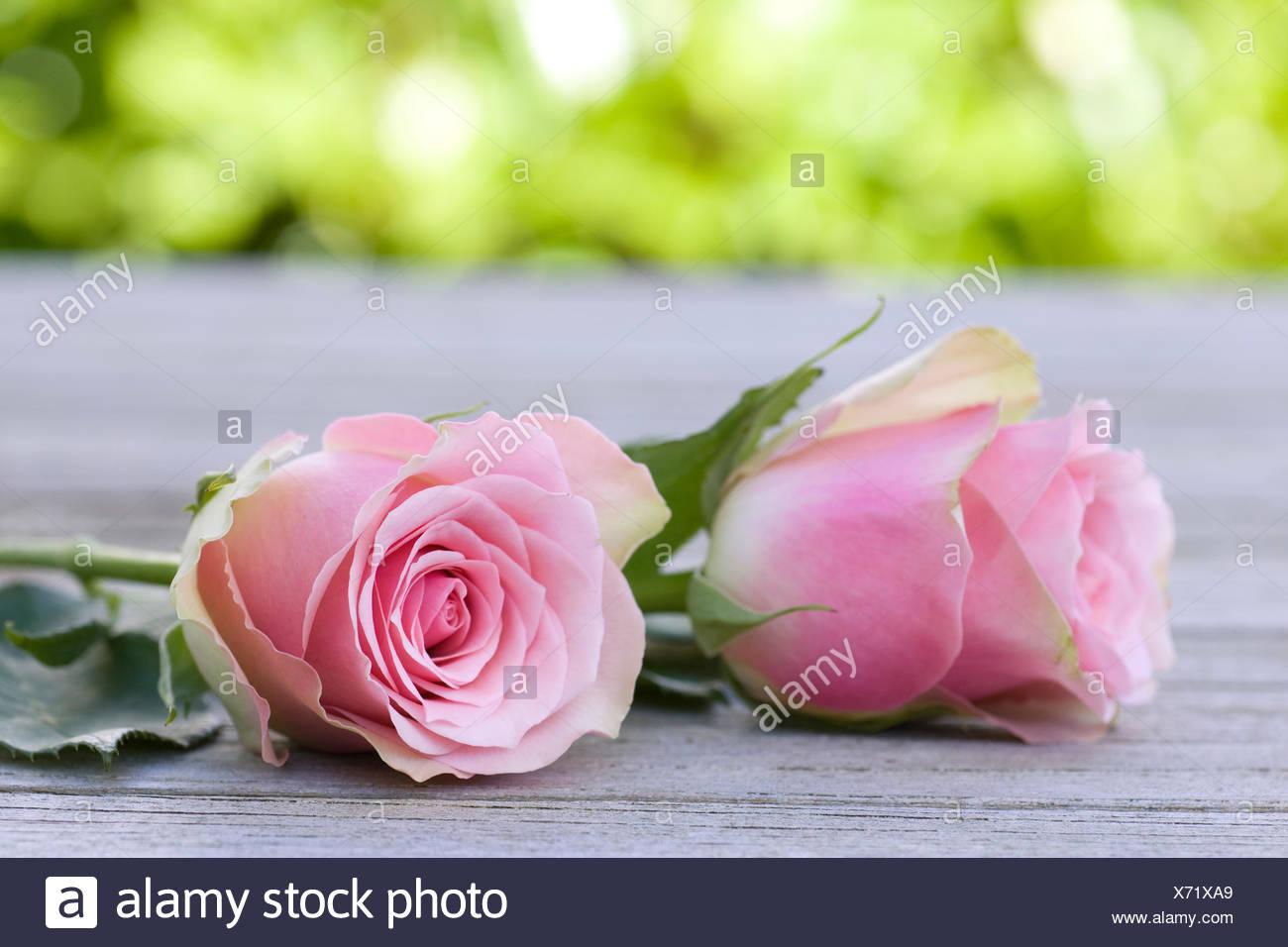 beautiful roses duo - Stock Image