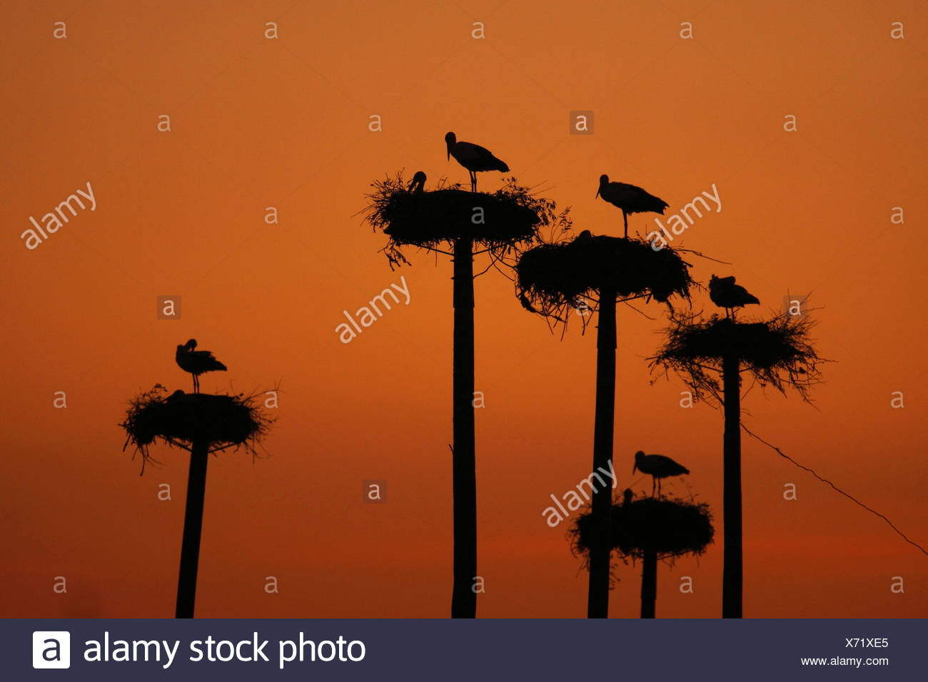 white stork (Ciconia ciconia), colony at sunset, Spain, Extremadura - Stock Image