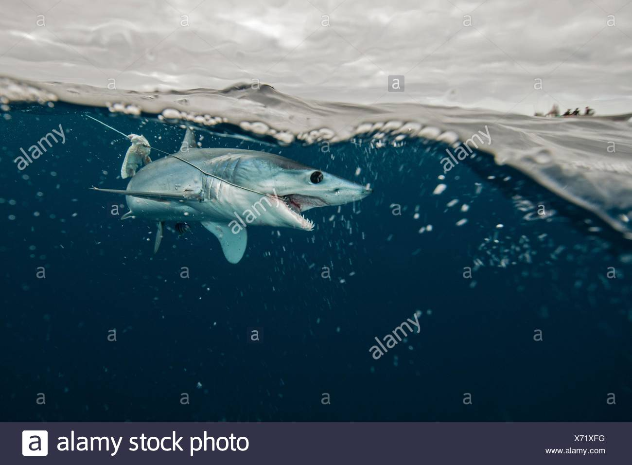 Underwater view of young mako shark struggling with fishing line, Pacific side, Baja California, Mexico - Stock Image