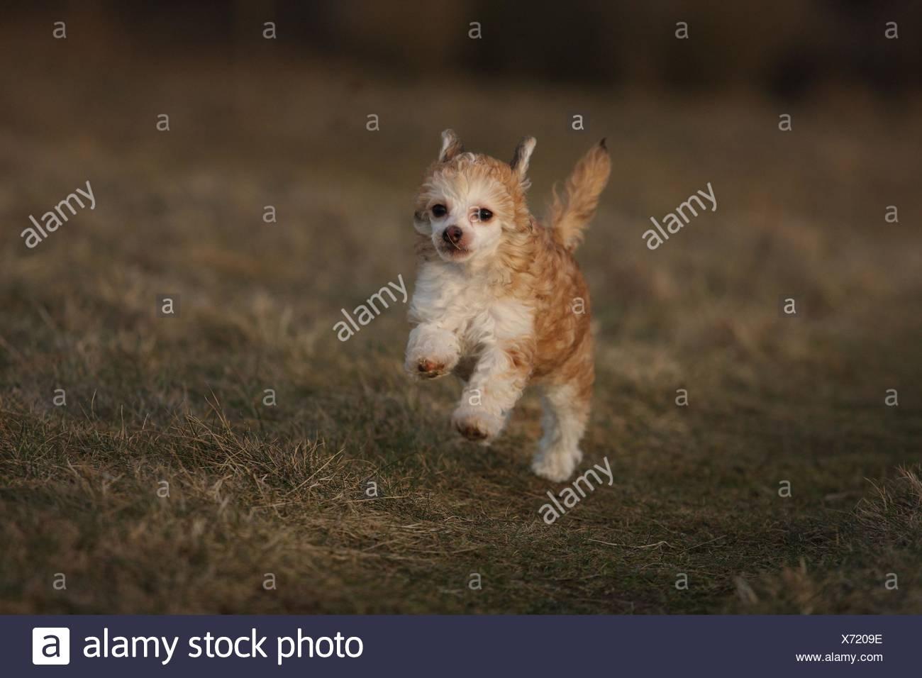 Chinese Crested Dog - Stock Image