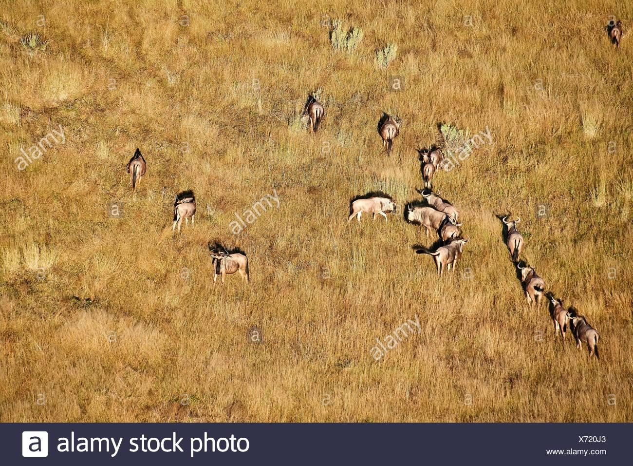 Aerial view of blue wildebeest herd grazing (Connochaetes taurinus), Okavango Delta, Botswana, Africa. - Stock Image