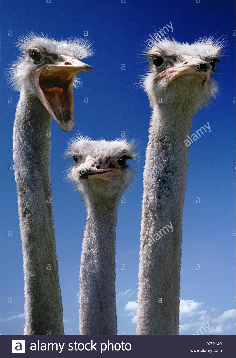ostrich (Struthio camelus). - Stock Image