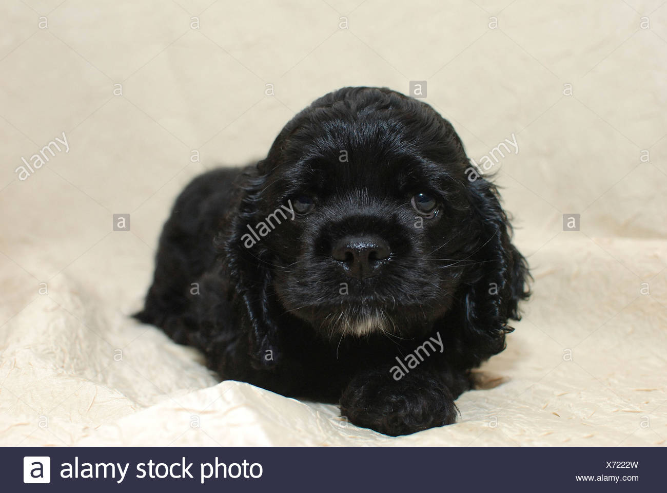 Black Cocker Spaniel Puppy High Resolution Stock Photography And Images Alamy