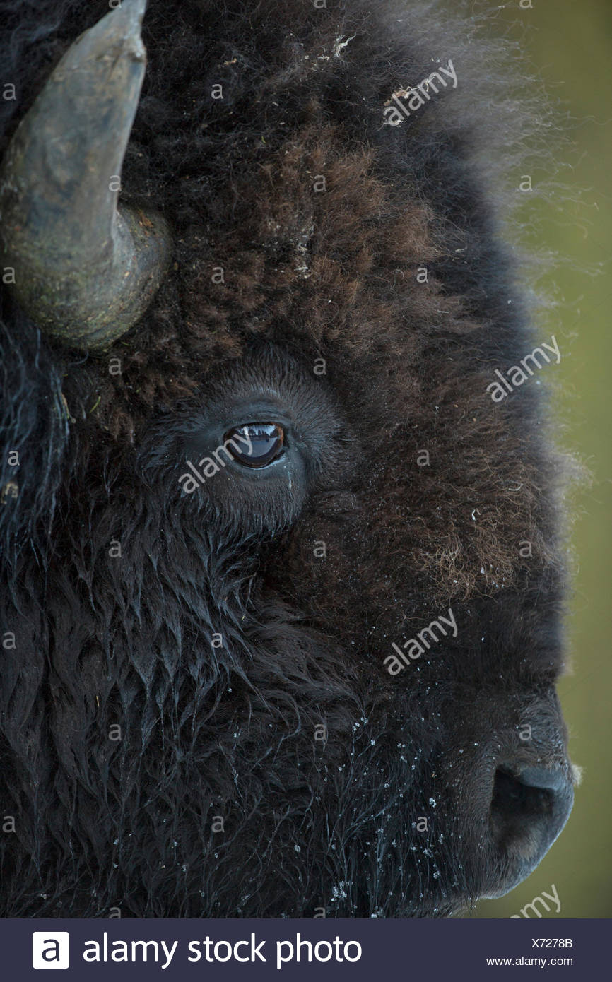 Portrait of an American bison, Bison bison. - Stock Image