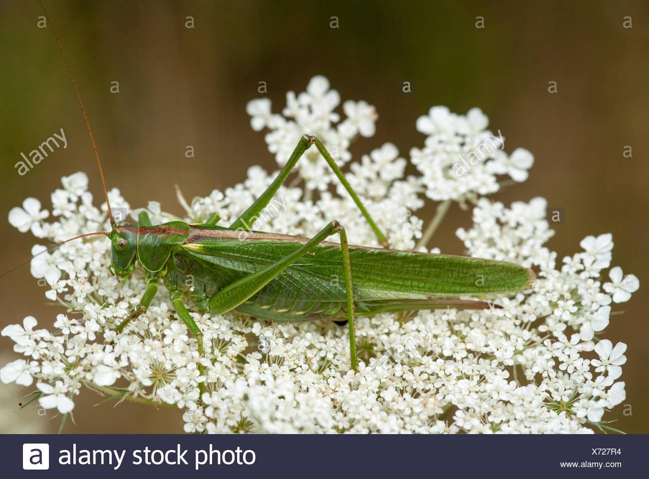 Great Green Bush-Cricket (Tettigonia viridissima) - Stock Image