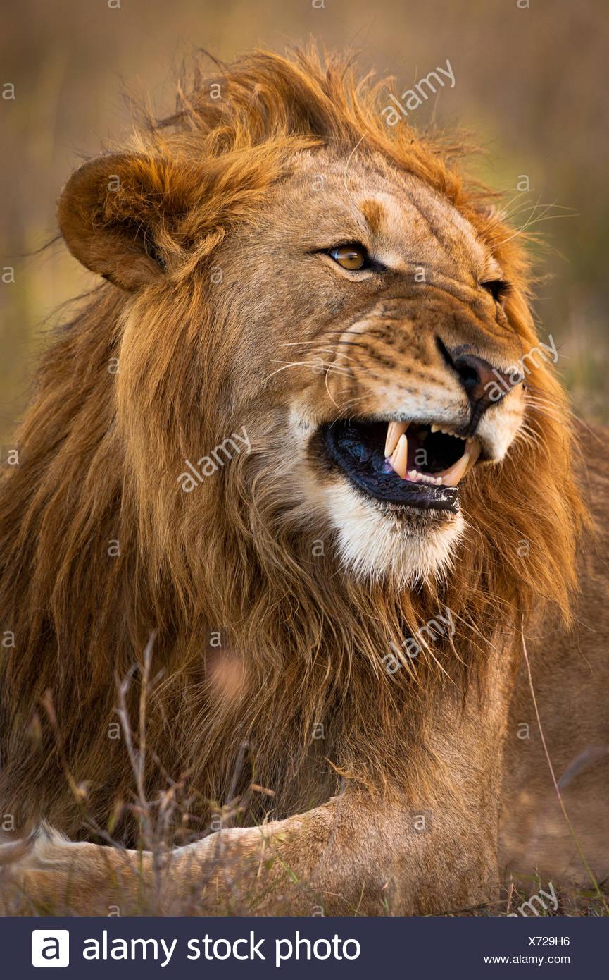 Male lion snarling, Ol Pejeta Conservancy; Kenya - Stock Image