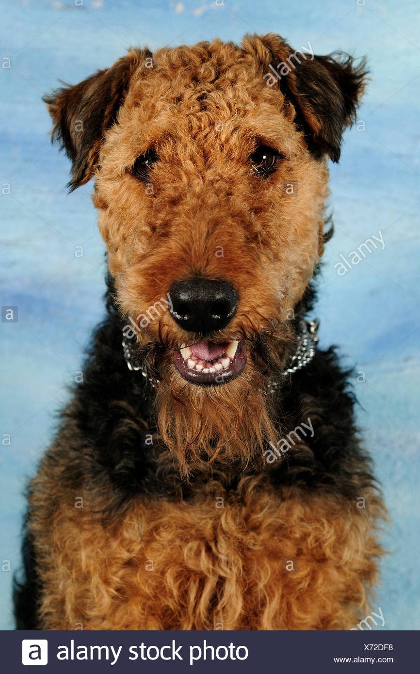 Airdale terrier head portrait, sitting and panting - Stock Image