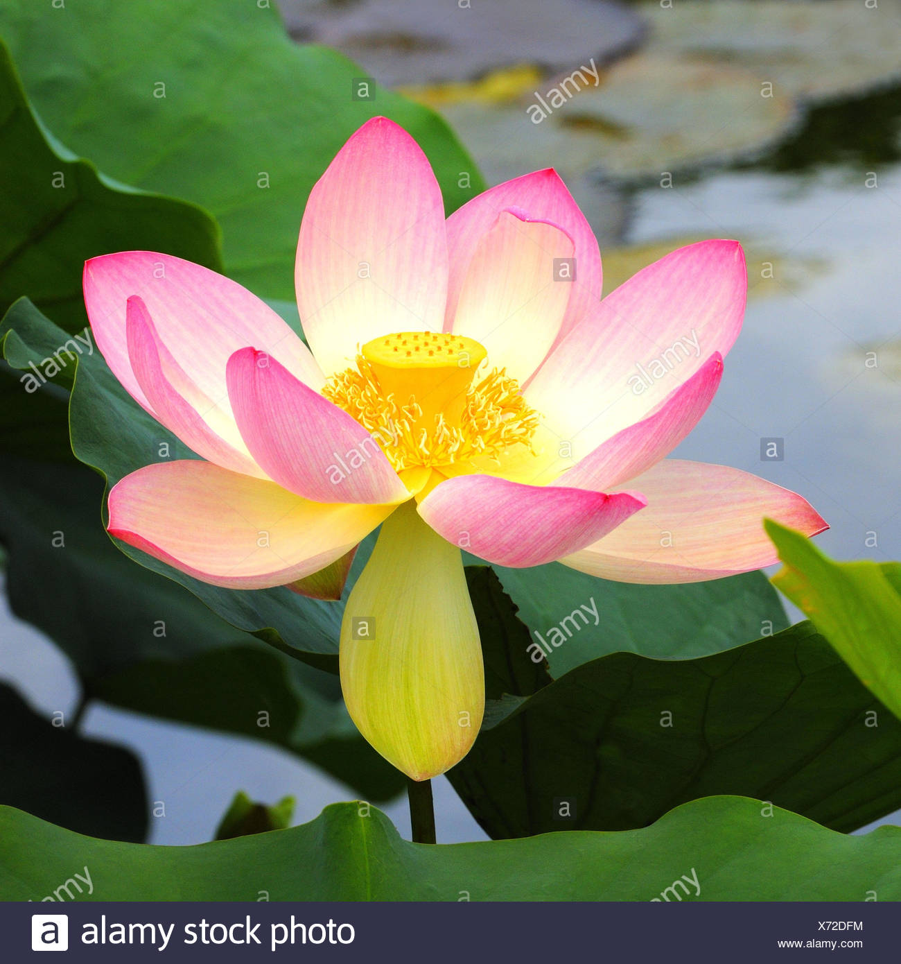 Indian lotus flower nelumbo nucifera stock photo 279723016 alamy indian lotus flower nelumbo nucifera mightylinksfo