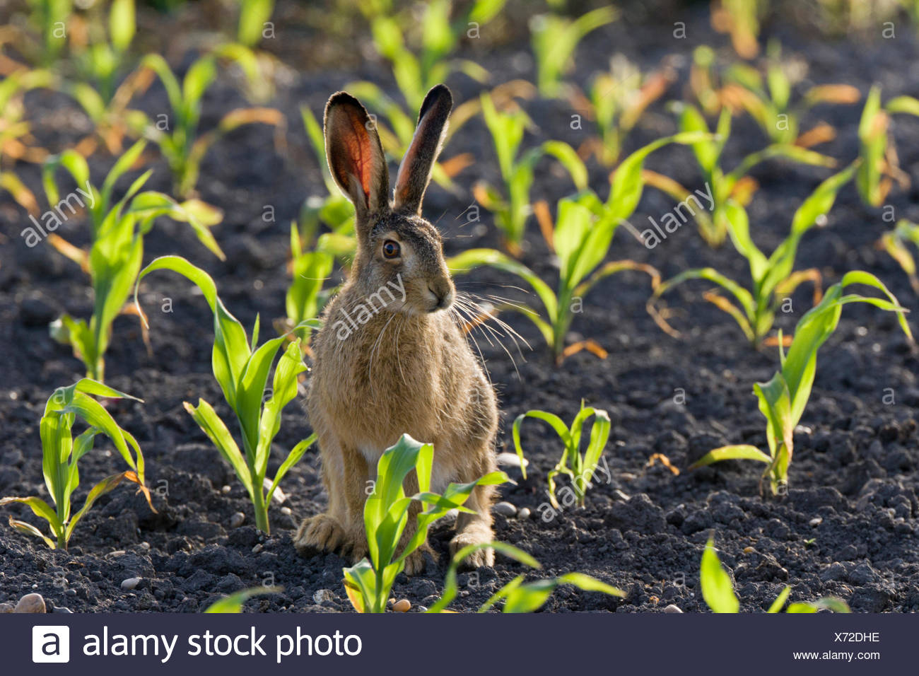 European hare, Brown hare (Lepus europaeus), on a field in backlight, Austria, Burgenland, Seewinkel - Stock Image