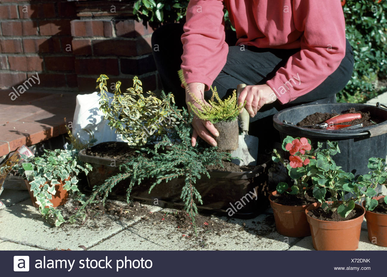 Close-up of a woman planting up a window box with trailing ivy and small conifers      FOR EDITORIAL USE ONLY - Stock Image