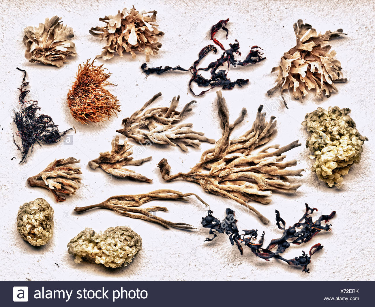 Dried sea plants - Stock Image