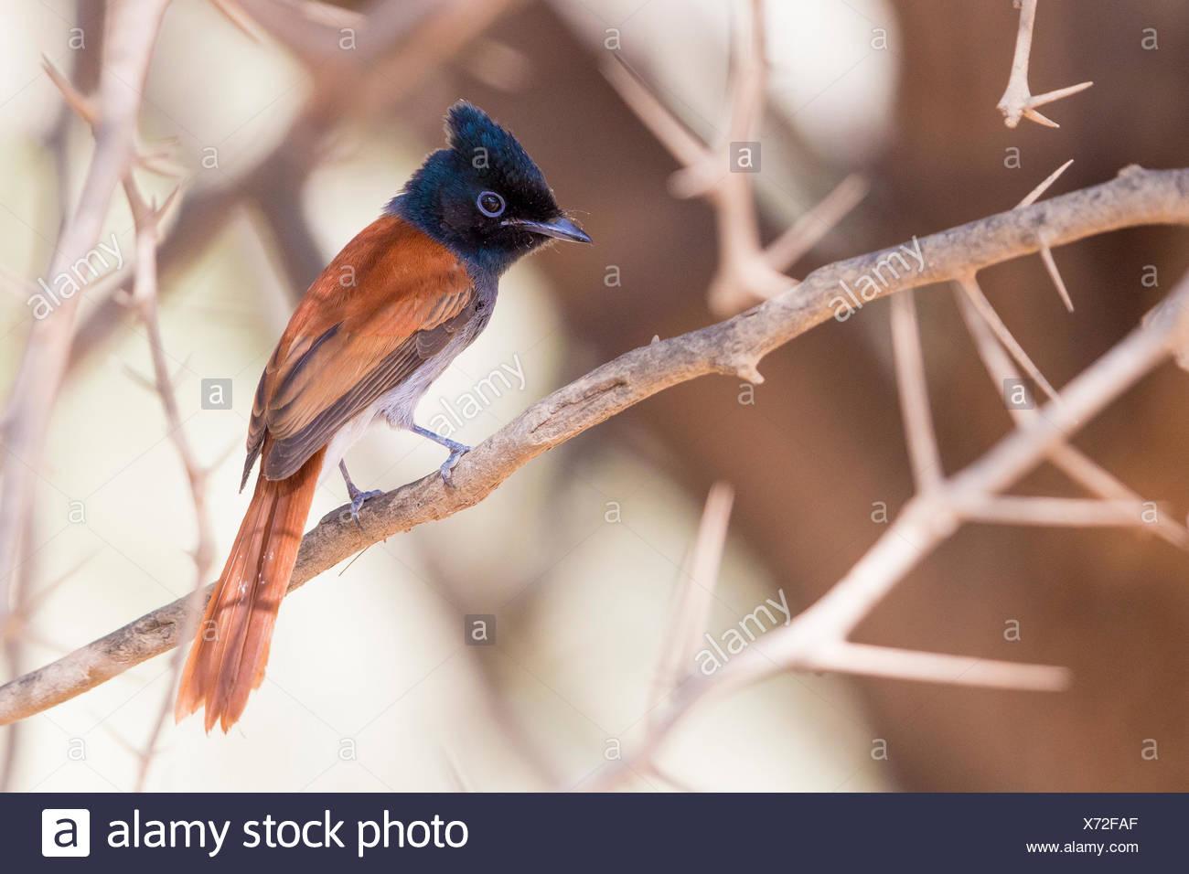 African Paradise Flycatcher (Terpsiphone viridis ssp harteti), adult perched on a branch, Ayn Hamran, Dhofar, Oman Stock Photo
