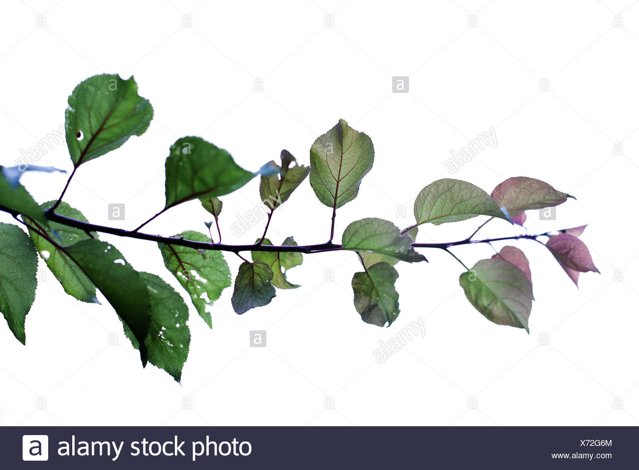 branch of a apricot tree - Stock Image