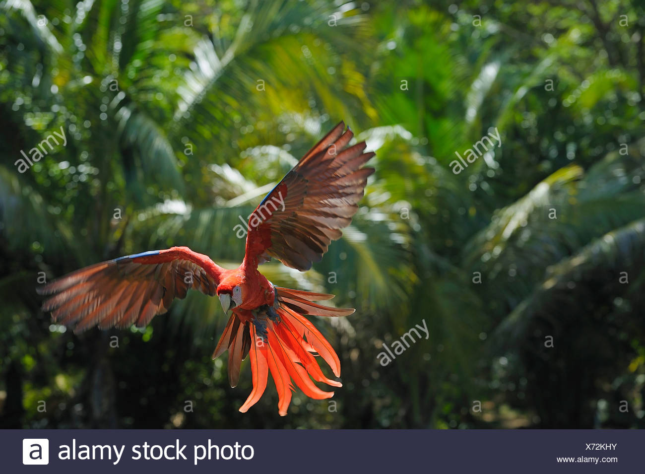 Latin America, Honduras, Bay Islands, Roatan, Scarlet macaw parrot flying - Stock Image