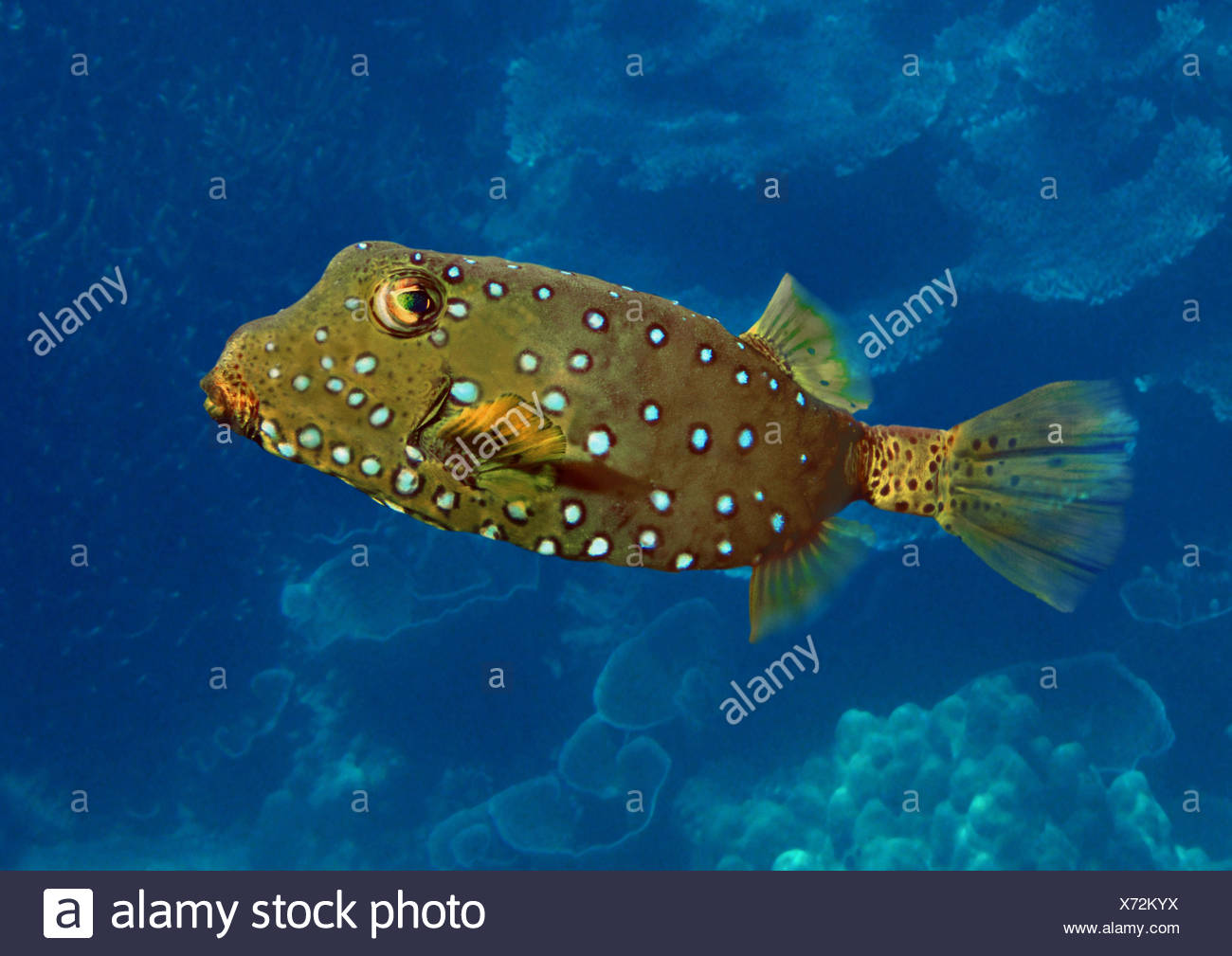 blue-spotted boxfish, yellow boxfish, polka dot boxfish (Ostracion cubicus, Ostracion tuberculatus), distribution: Indopacific - Stock Image