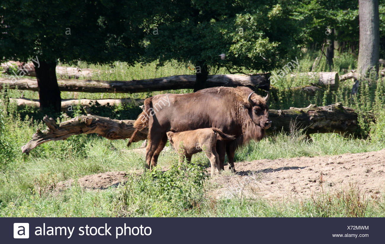 bison with young - Stock Image