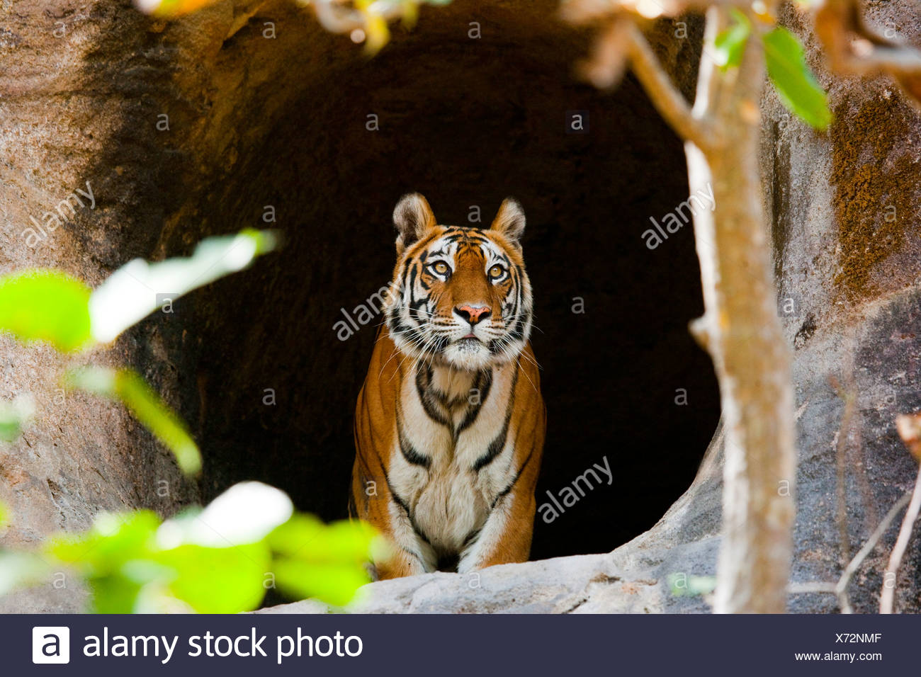 Bengal Tiger, Bandhavgarh National Park, Madhya Pradesh, India - Stock Image