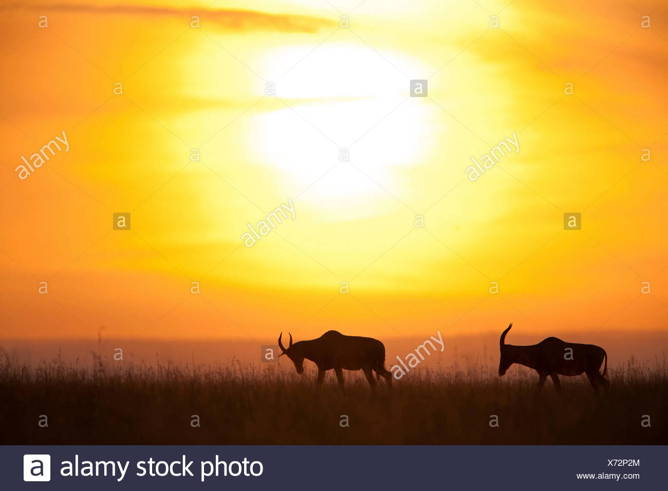 topi, tsessebi, korrigum, tsessebe (Damaliscus lunatus jimela), silhouettes of two topis at sunset, Kenya, Masai Mara National Park - Stock Image