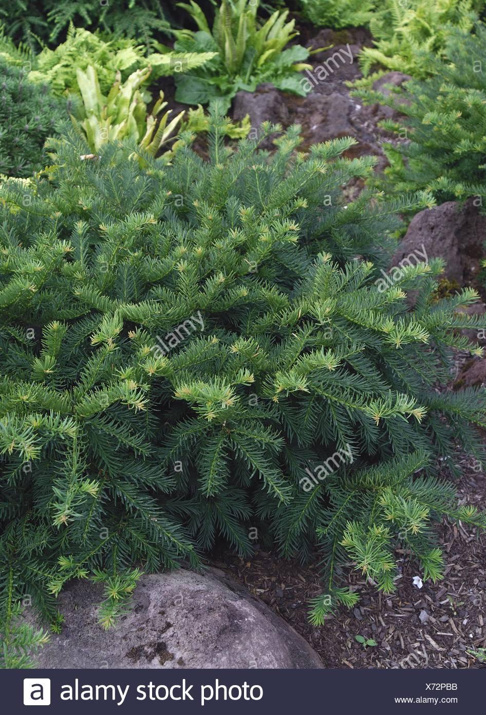 common yew (Taxus baccata 'Repandens', Taxus baccata Repandens), cultivar Repandes Stock Photo