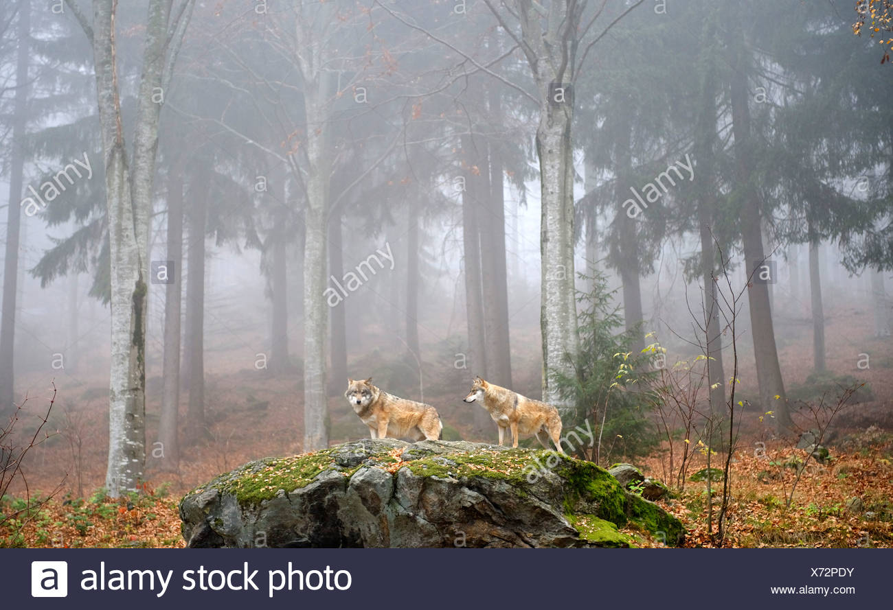 Gray Wolf (Canis lupus), open-air enclosure for animals near Neuschoenau, Bavarian Forest National Park, Lower Bavaria, Germany - Stock Image