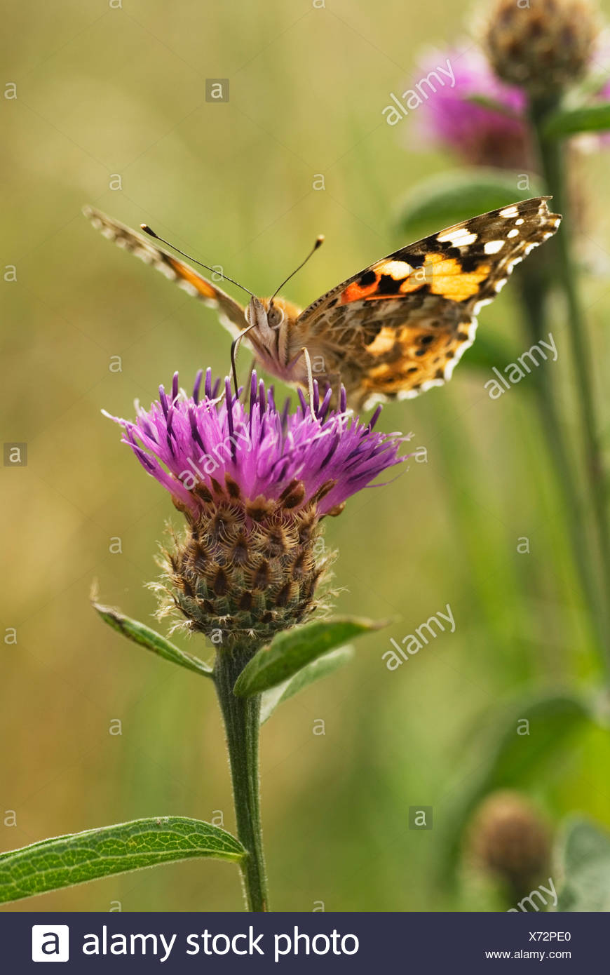 Painted Lady - Stock Image