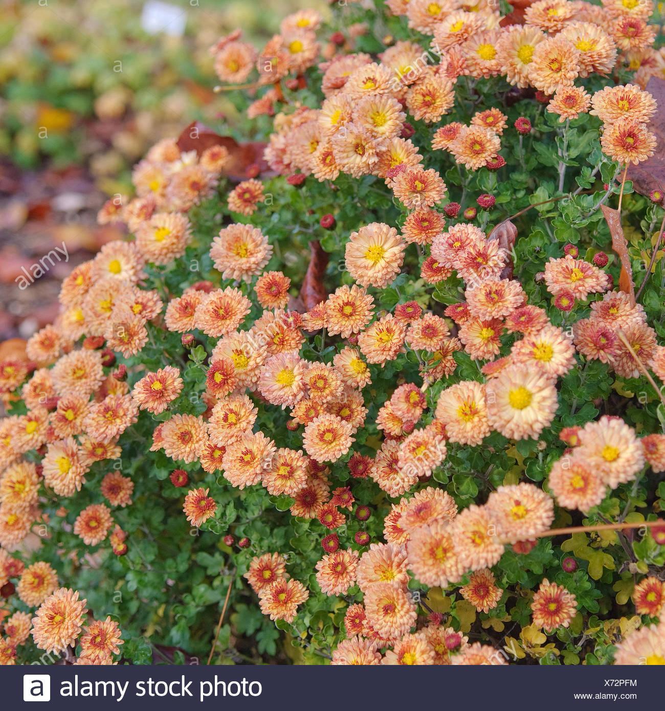 Beliebt Bevorzugt Chrysanthemum Indicum Stock Photos & Chrysanthemum Indicum Stock #KC_52