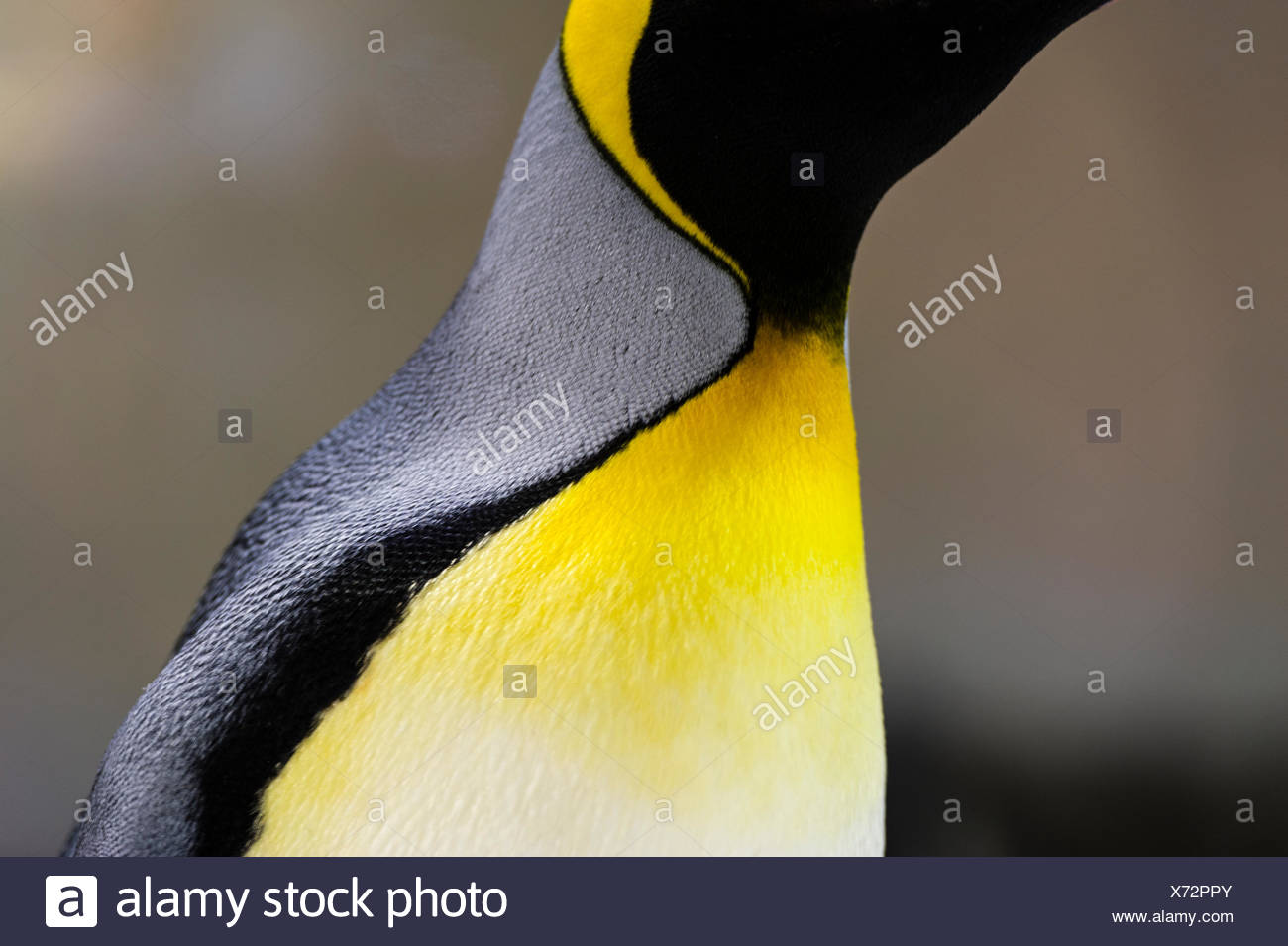 Bright yellow-orange feather plumage on the chest of a King Penguin. - Stock Image