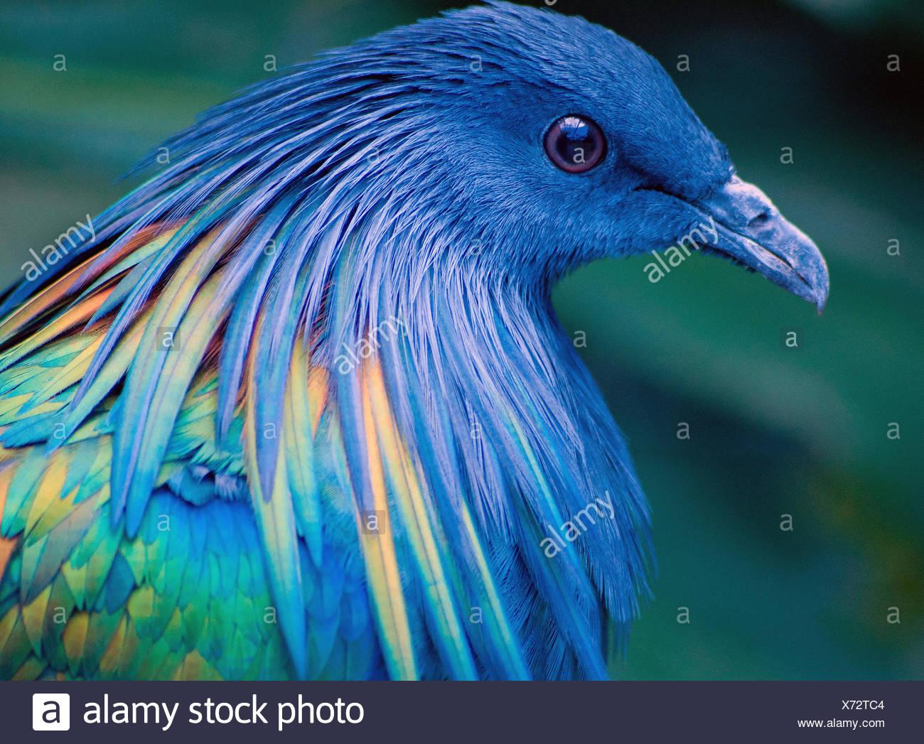 Nicobar Pigeon, South Africa - Stock Image